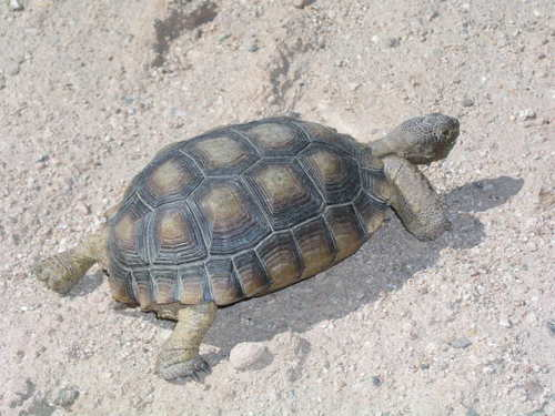 Desert Tortoise. Mohave Desert, Az. Photo Larry Atkins