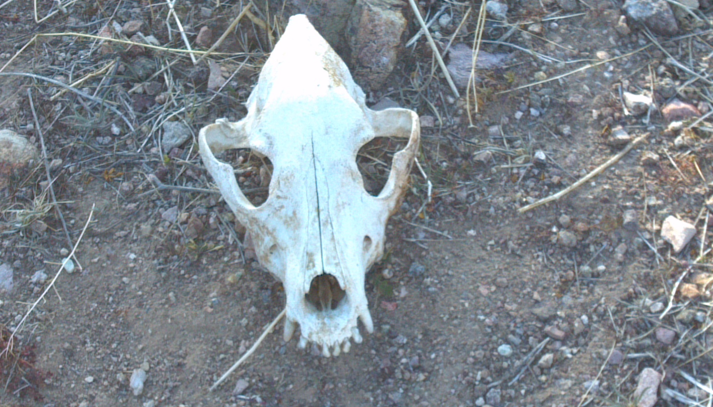 Wild Burros in Bullhead City desecrate a Coyote skull. - Photo Larry Atkins