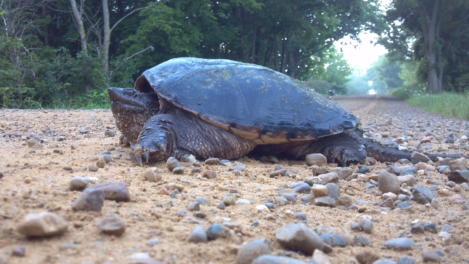 Photo Larry Atkins - Female Snapping Turtle