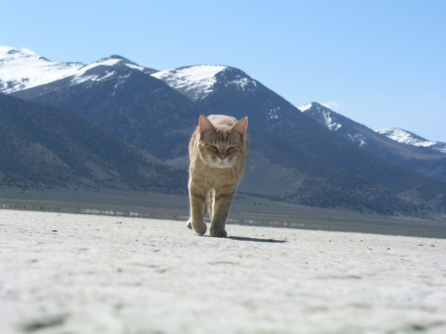 My house lion, Pumpkin, out on Diamond Valley dry lake bed. Photo Larry Atkins