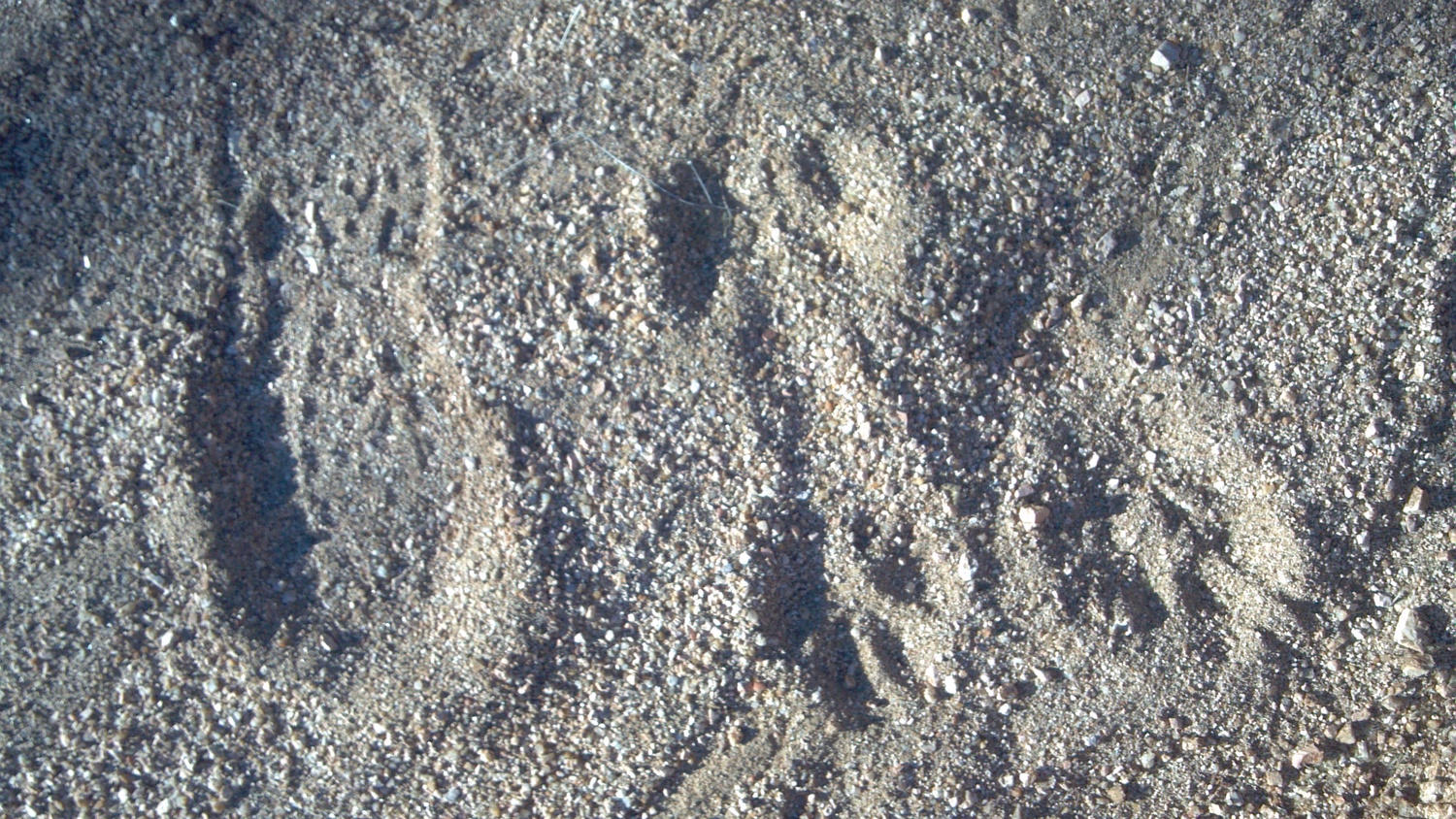Mountain Lion tracks are a fairly common site in Arizona. - Photo Larry Atkins