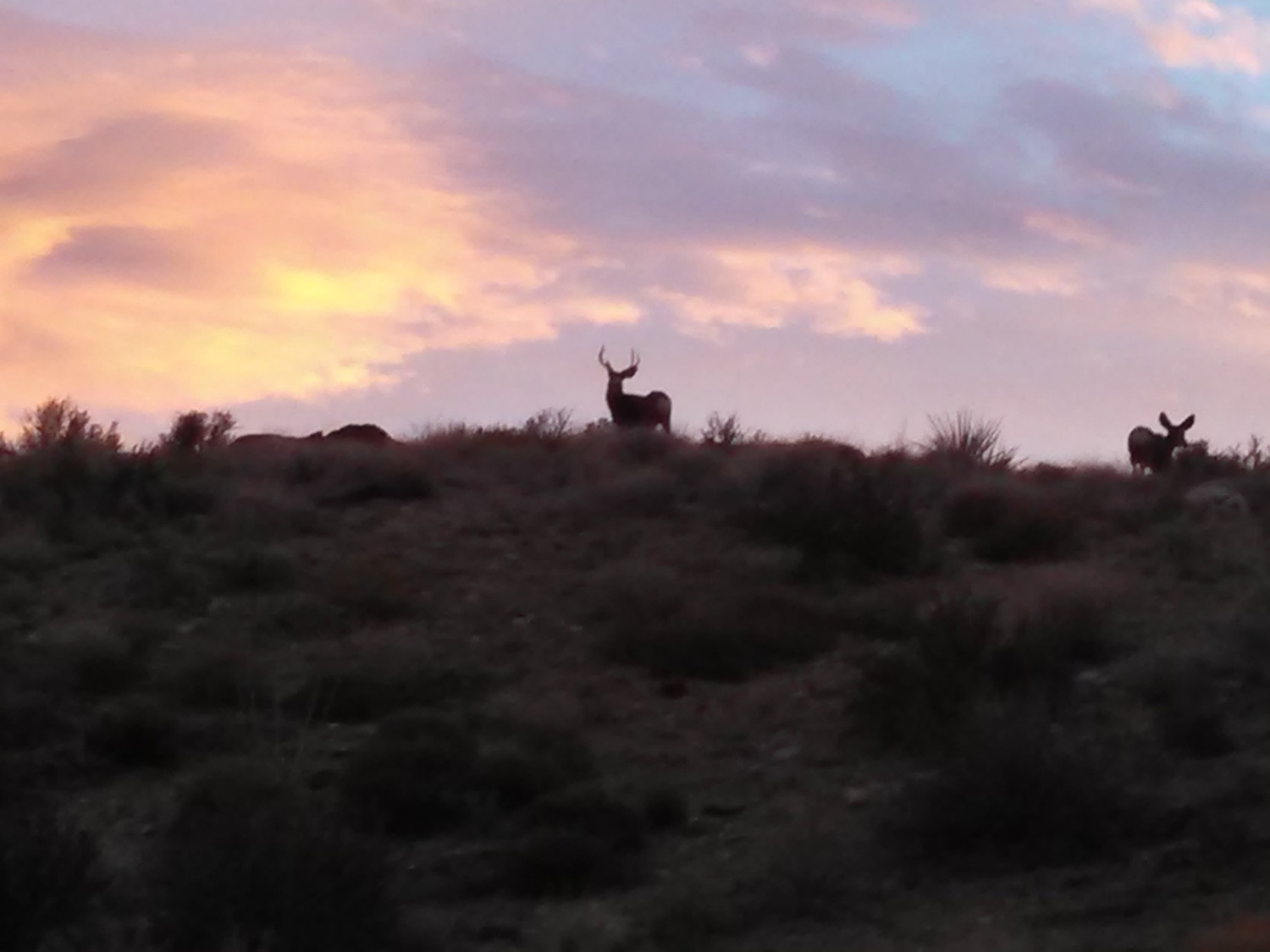 Buck and Doe Mule Deer Nevada Side Gold Basin. - Photo Larry Atkins