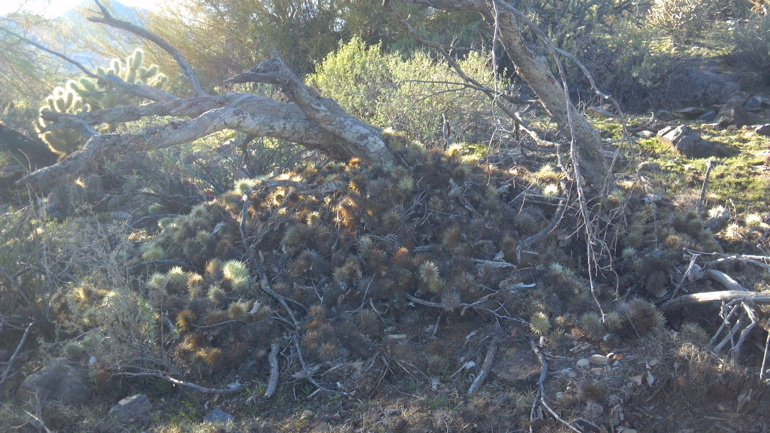 Pack rats have quite an interesting strategy when it comes to home building. Just pile up a bunch of cholla and assorted thorny vegetation!