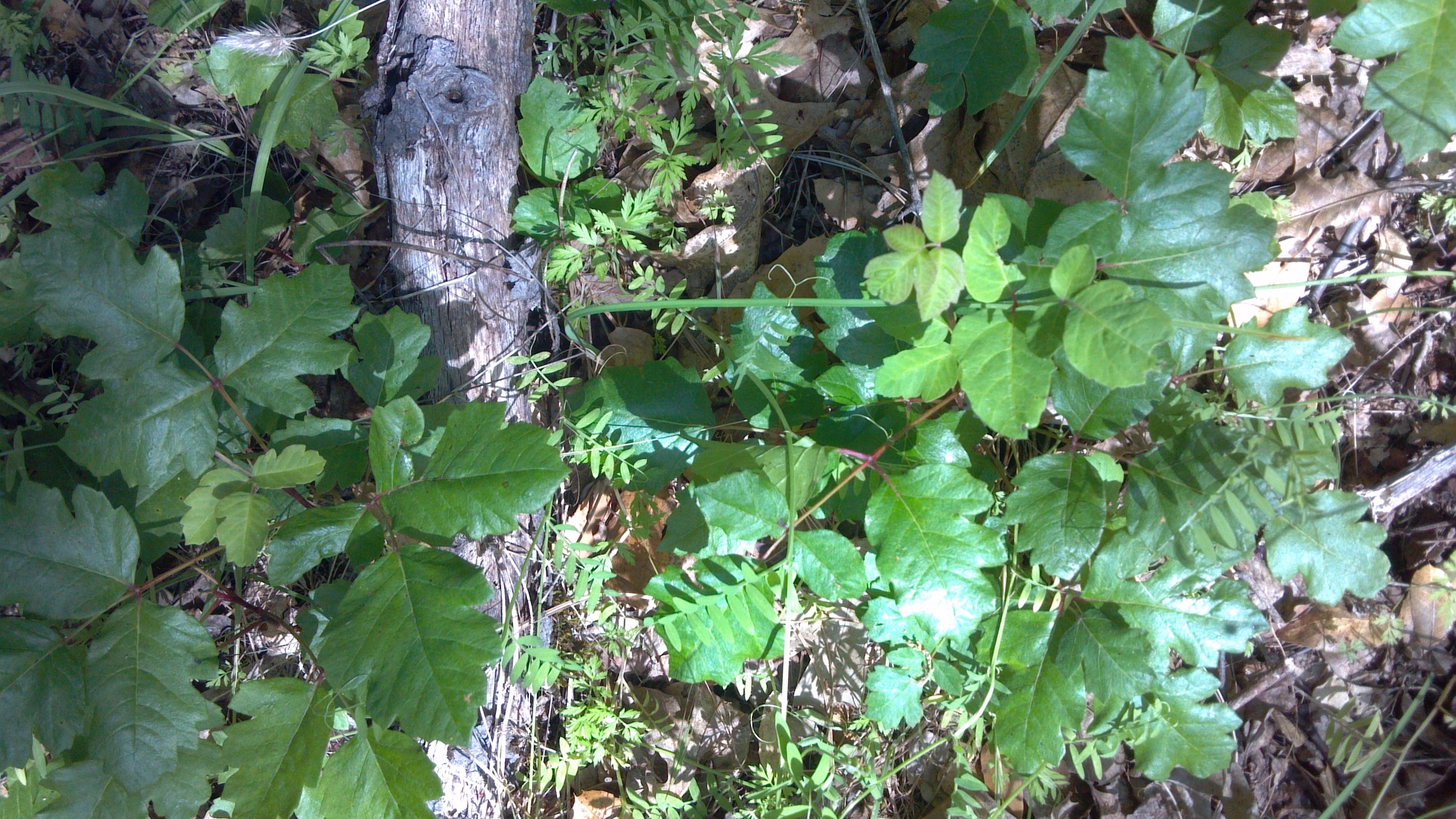 One of the challenges of hunting the Sutter's Mill meteorite was Poison Oak. It was everywhere in the woods.